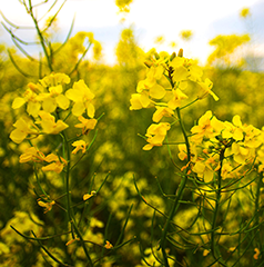 Canola - Known for its oil content and use for oil production.