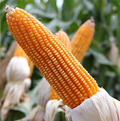Corn Crop - Popular Grain Corn Crop