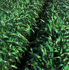Other Crops - Including Pearl Millet, Oats, Alfalfa, Biofumigants and Mustard.