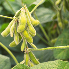 Soybean Crop - Developed and adapted for the Cerrado area in Brazil.