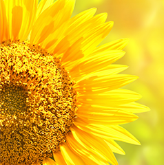 Sunflower - From traditional lino to ultra-high oleic germplasm.